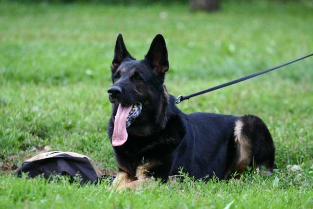 Помощь в дрессировке собак